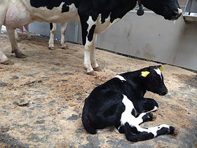 Maternity pen flooring for cows