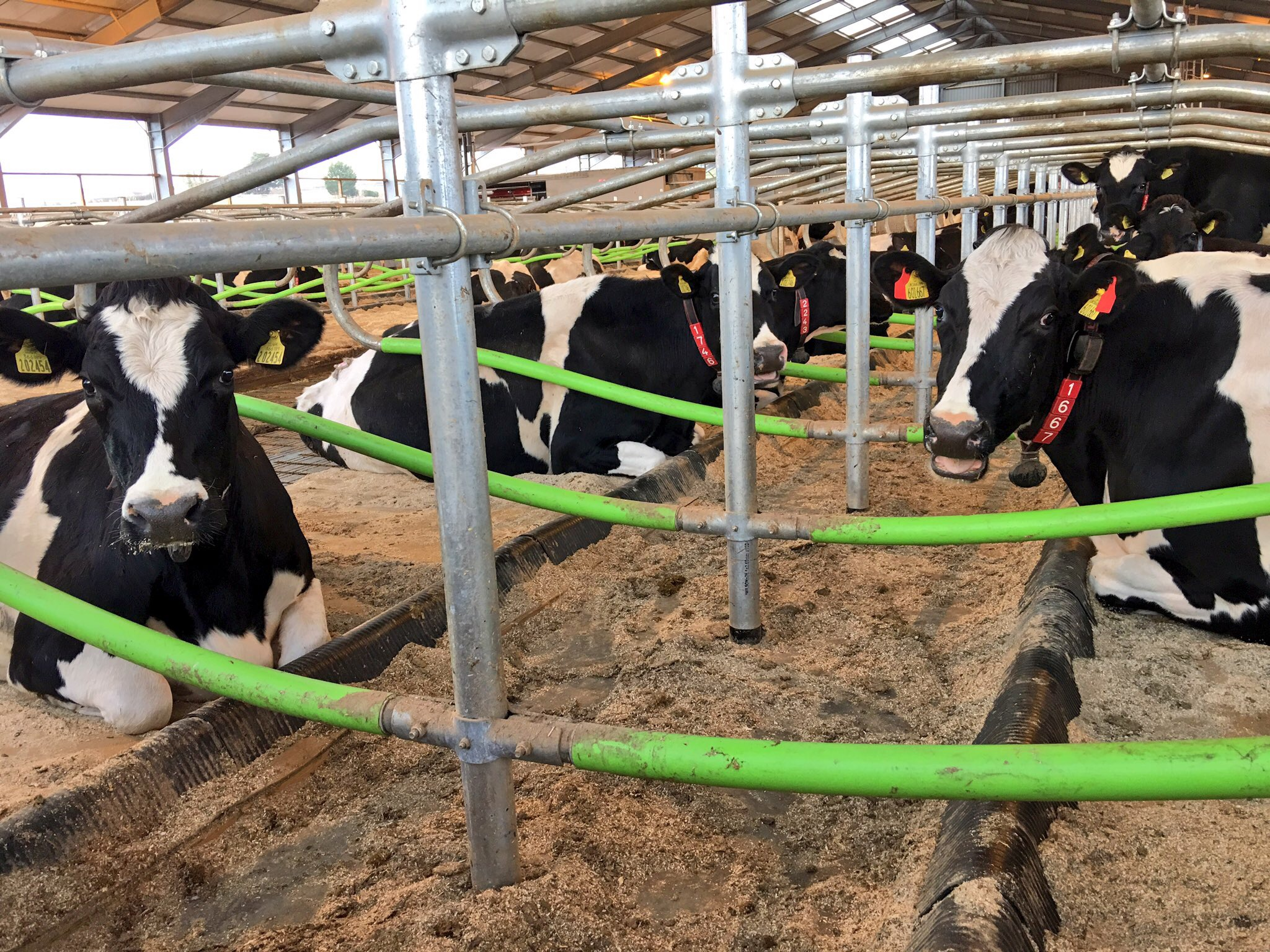 Cowcoon cubicles with Pasture Mat mattresses, 30mm foam and PolyPillow