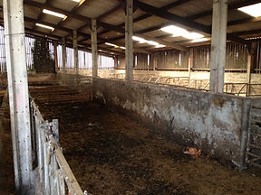 Before improvements in cow housing