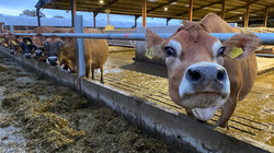 Nosey Jersey cow