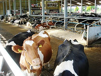 Cow Shed by Cow Plan