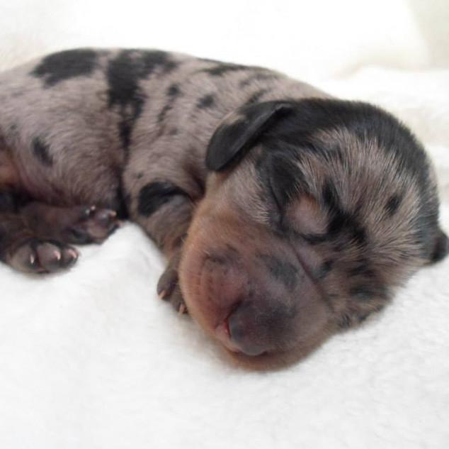 Daisy & Tank Puppy - 6.6.15
