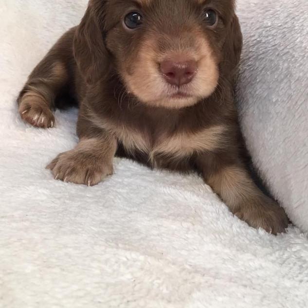 Cookie & Harper Puppy -  8.28.17