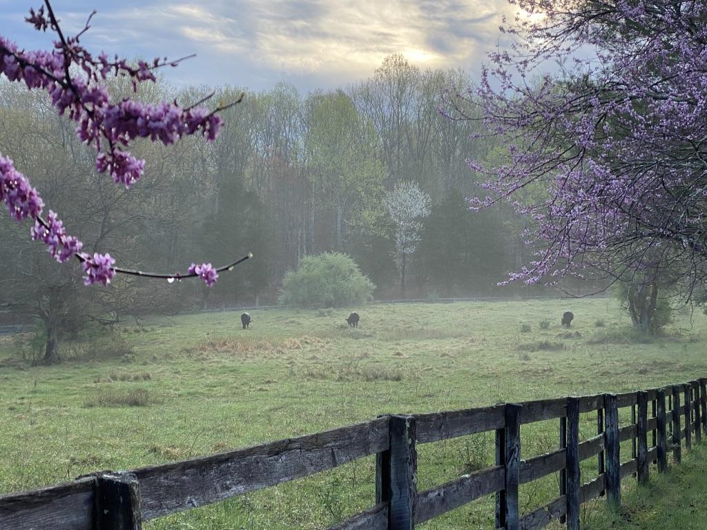 Cassidy_Margaret M_Redbuds in Spring_Pho