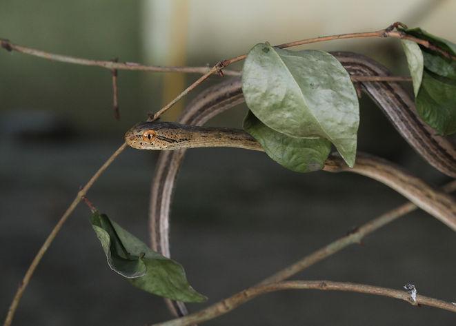 colubridae.JPG