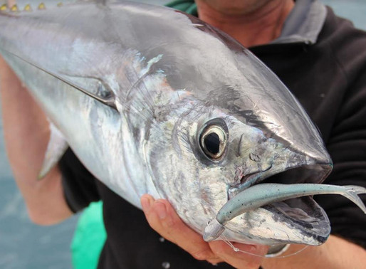 How to Catch Longtail Tuna on Soft Plastics - Gobblers Lures Blog