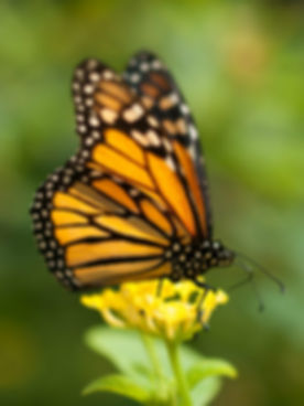 Monarch pic.jpg