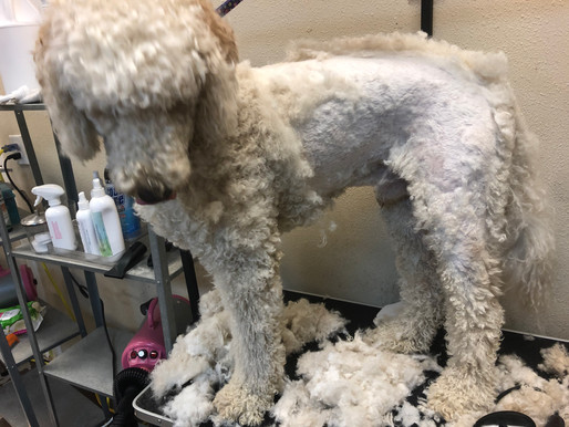 I'm a groomer and my dog got matted...
