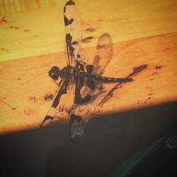 Dragonfly on Paddle
