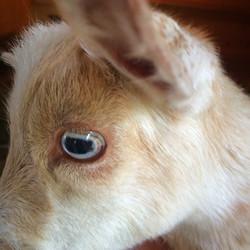 Eye of Baby Goat