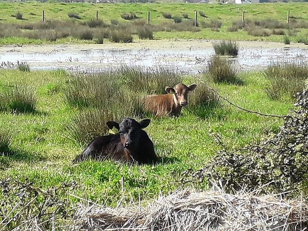 Steart Marshes Calves, April, 21.jpg