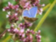 Common Blue - Pete Wilkins.jpg