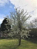 Sally's Cherry Tree - 2.jpg
