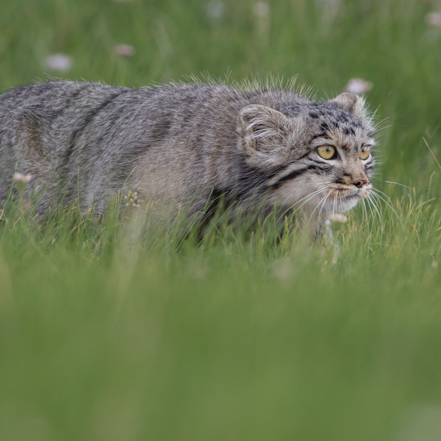 Pallas's cat in steppe