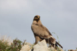 Steppe Eagle (41).jpg