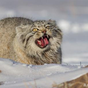 Pallas's cat in winter