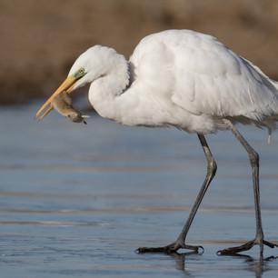 White Egret eating Brandt' vole