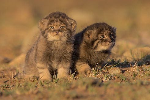 Pallas's cat cub by Otgonbayar.jpg