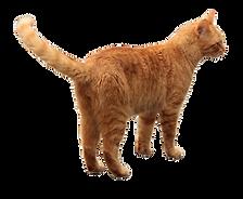 73-735180_transparent-orange-tabby-cat-c