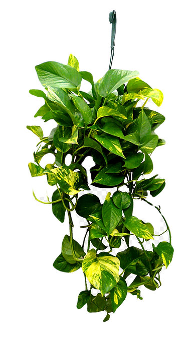 434-4347040_8in-hanging-golden-pothos-tr