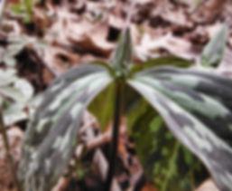 Trillium grandiflorum indiana dunes.JPG