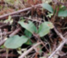 Liparis loeselii leaf.JPG