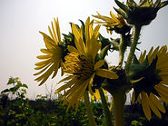 Silphium laciniatum - great marsh.JPG