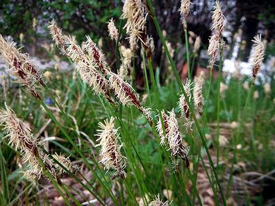 Carex pensylvanica indiana
