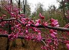 eastern redbud flower