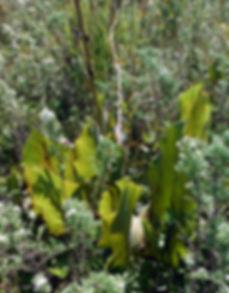 Silphium terebinthinaceum-.jpg
