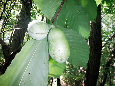 Pawpaw fruit Indiana