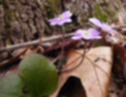 Anemone americana flowers