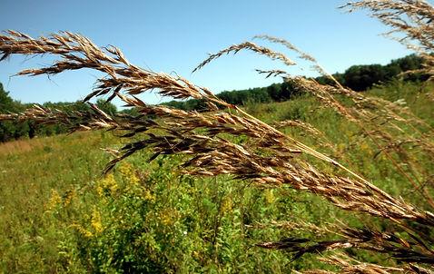 Andropogon gerardi - Cowles Prairie 25 acres.jpg
