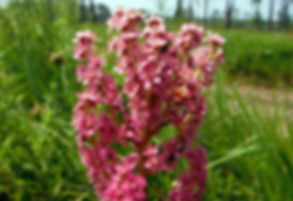 steeplebush flowers