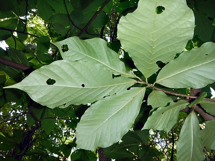 Asimina triloba leaves.JPG