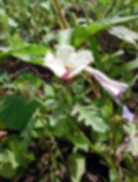 Hibiscus trionum indiana dunes.JPG