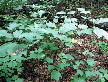 Viburnum acerifolium - Barker Woods