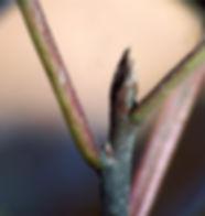 glossy buckthorn winter bud