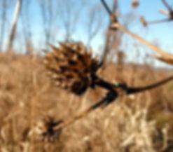 Eryginium yuccifolium at Cowles Prairie