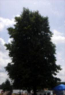 Sassafras albidum tree