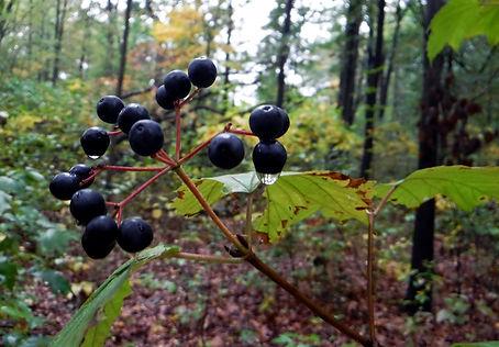 Maple-leaved viburnum fruit
