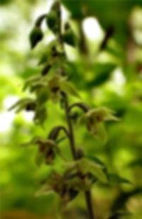 Epipactis helleborine - Cowles Bog N. Trail.jpg