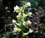 Platanthera clavellata.JPG