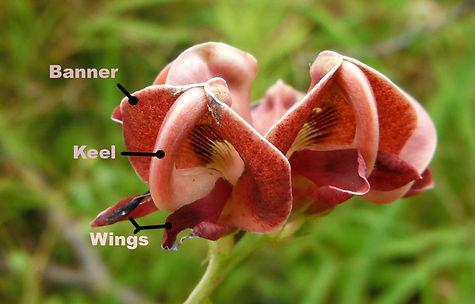 apios americana banner keel wings