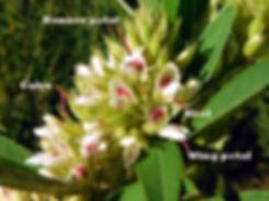 Lespedeza capitata keel banner calyx.jpg
