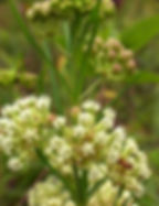 Asclepias verticillata indiana dunes