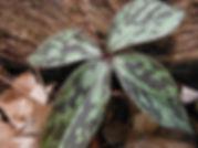 4-leaved trillium