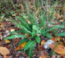 Polystichum acrostichoides INDU.JPG