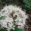 Viburnum acerifolium -Barker Woods IN.jpg
