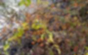 Celastrus orbiculatus indiana dunes